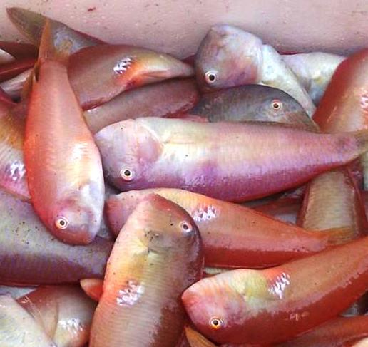 Il Pesce Pettine